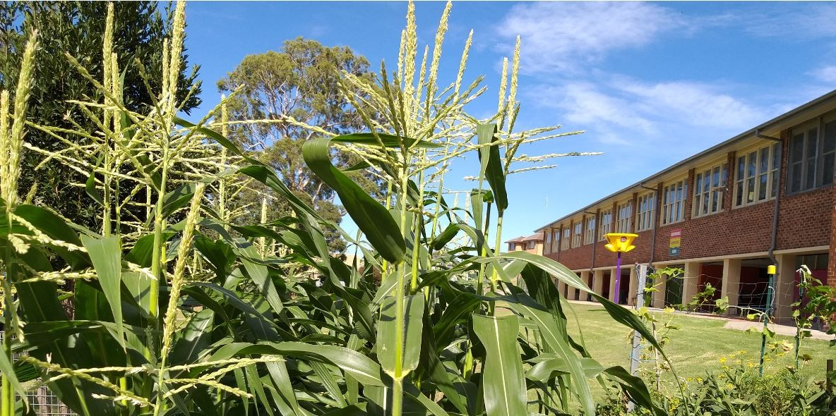 View of the school form the corn plants.